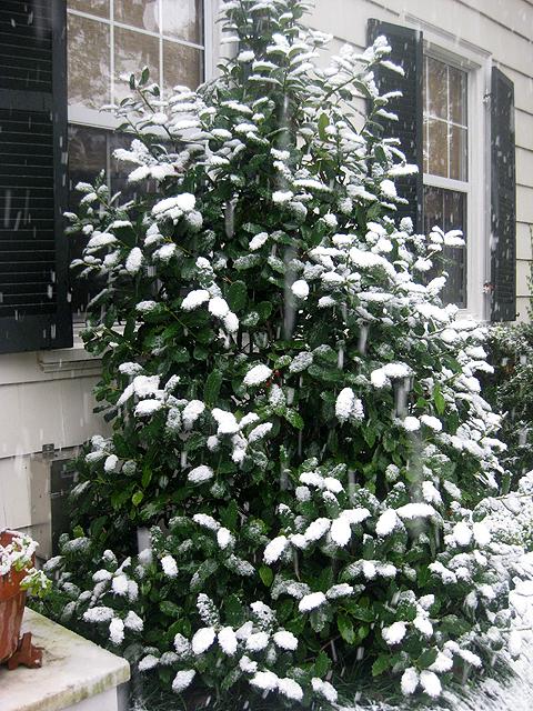 Snowyholly